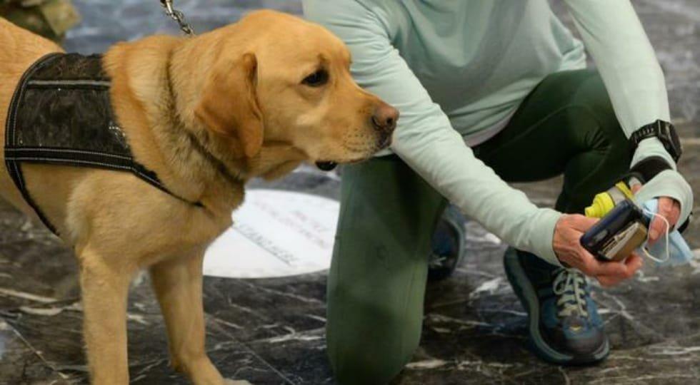 Cães com detecção especial podem farejar COVID-19 em aeroportos
